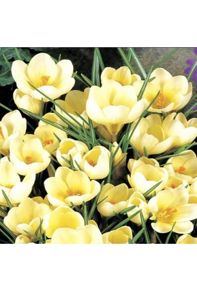Evve Bahce Crem Çiğdem Soğanı (5 Adet)