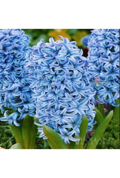 Evve Bahce Blue Star Hyacinthus Sümbül Soğanı (2 Adet)