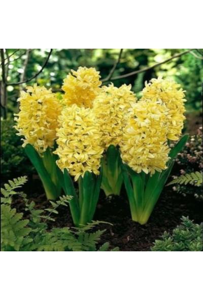 Evve Bahce Hyacinthus Sarı Sümbül Soğanı
