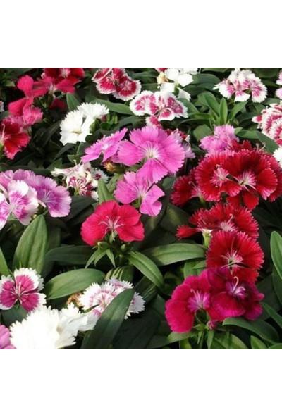 Evve Bahce Karışık Renkli Bodur Çin Karanfili Çiçeği Tohumu (100 Tohum)