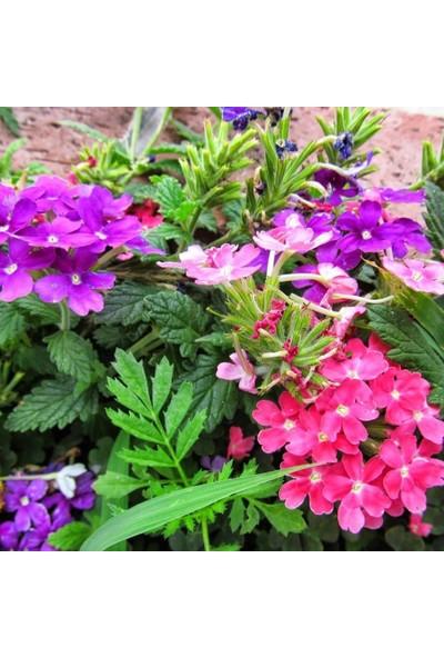 Evve Bahce Karışık Renkli Yer Minesi (Verbena) Çiçeği Tohumu (20 Tohum)