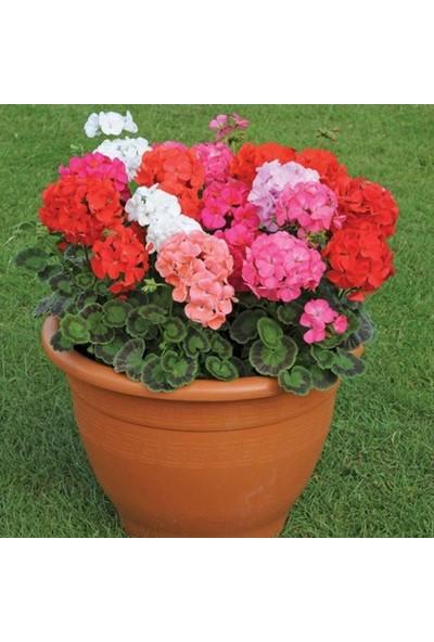 Evve Bahce Colorama Karışık Renkli Hibrit Sardunya Çiçeği Tohumu (10 Tohum)