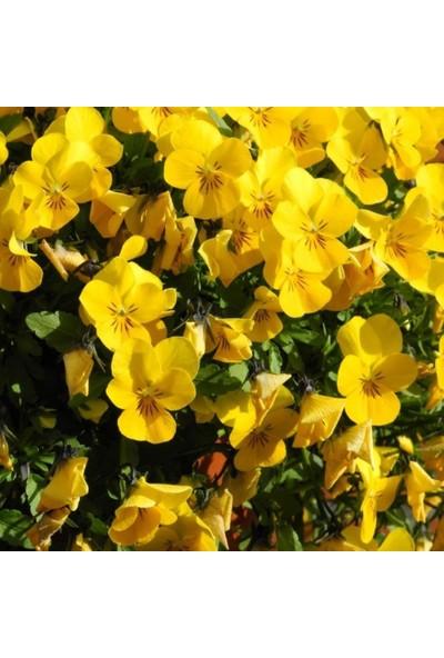 Evve Bahce Sarı Hercai Dev Menekşe Çiçeği Tohumu (50 Tohum)