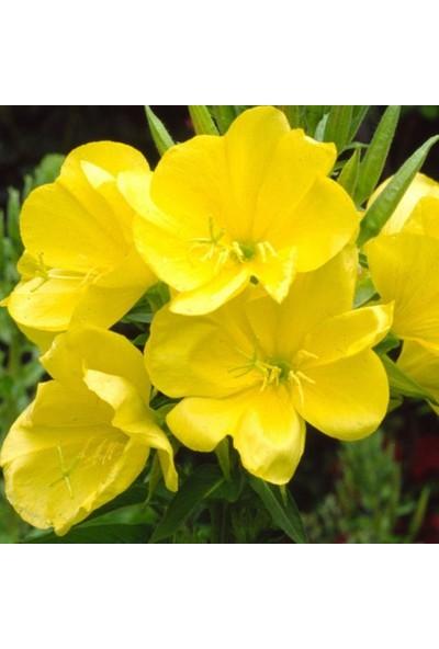 Evve Bahce Sarı Ezan Çiçeği Tohumu(100 Tohum)