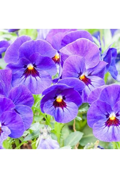 Evve Bahce Blue Perfection Mavi Hercai Menekşe Çiçeği Tohumu (50 Tohum)