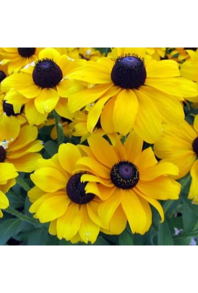 Evve Bahce Hirto My Joy Rudbekya Güneş Şapkası Çiçeği Tohumu (100 Tohum)