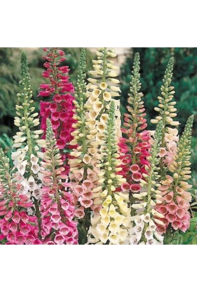 Evve Bahce Excelsior Mixed Karışık Renkli Yüksükotu Çiçeği Tohumu (100 Tohum)