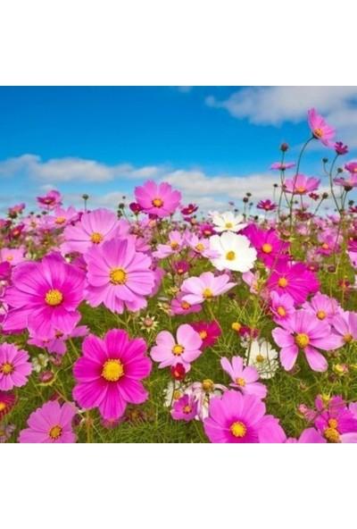 Evve Bahce Karışık Renkli Bodur Çan Cosmos (Kozmos) Çiçeği Tohumu (20 Tohum)