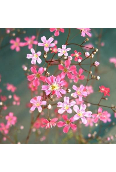 Evve Bahce Gypsophila Elegance Mixed Karışık Bahar Yıldızı Çiçeği Tohumu (100 Tohum)