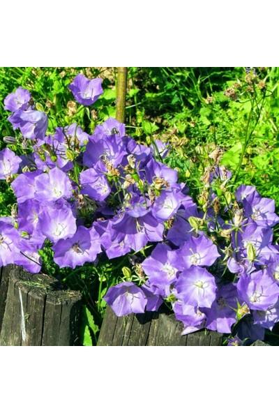 Evve Bahce Blue King Mavi Çan Çiçeği Tohumu(50 Tohum)