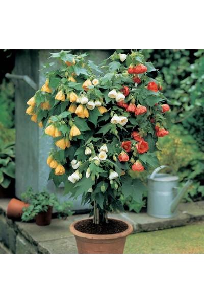 Evve Bahce Karışık Renkli Çin Çan Çiçeği Tohumu (20 Tohum)