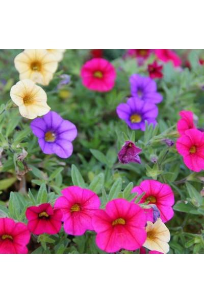 Evve Bahce Nana Compacto Karışık Renkli Bodur Petunya Çiçeği (50 Tohum)