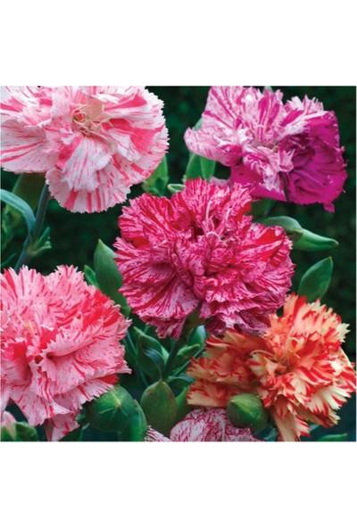 Evve Bahce Avranchin Lekeli Karanfil Çiçeği Tohumu (50 Tohum)
