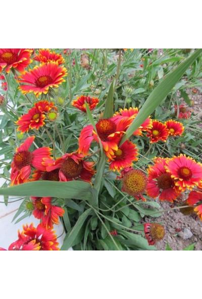 Evve Bahce Karışık Gayret Çiçeği (Giallardia Mix) Tohumu (50 Tohum)