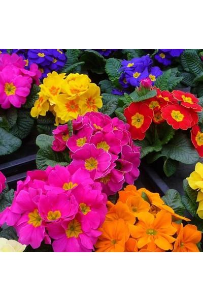 Evve Bahce Karışık Renkli Onbir Ay Çuha Çiçeği Tohumu (20 Tohum)