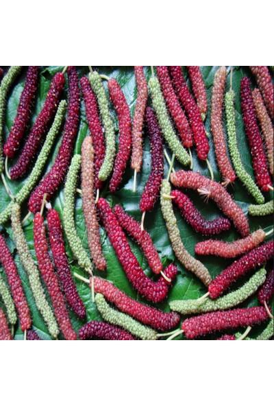 Evve Bahce Tüplü Çok Uzun Meyveli Pakistan Şah Dut Fidanı