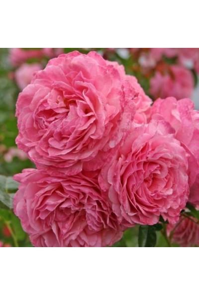 Evve Bahce Tüplü Kordes Bol Kokulu Kölner Flora Çit Gülü Fidanı