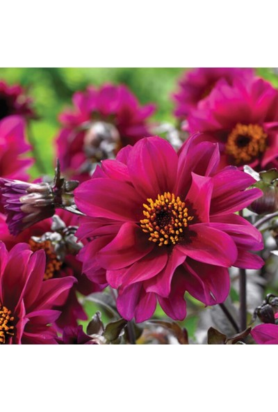 Arzuman Dahlia Çiçeği 30 Tohum