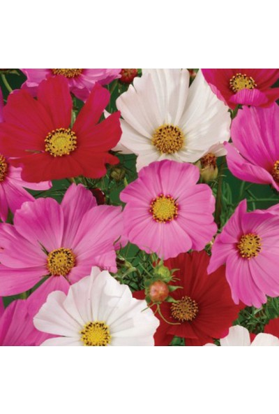 Arzuman Kozmos Çiçeği 30 Tohum