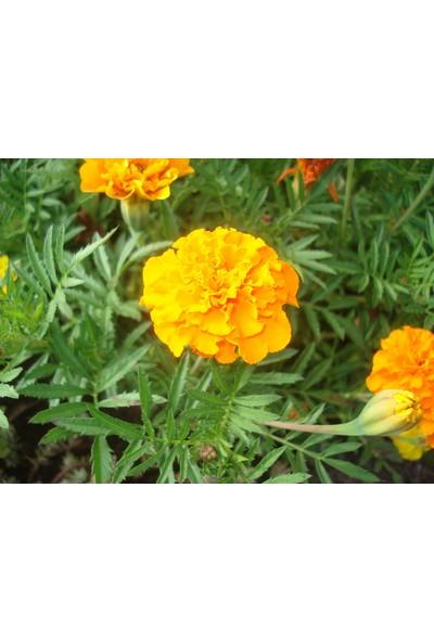 Arzuman Kadife Çiçeği 50 Tohum