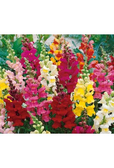 Arzuman Aslan Ağzı Çiçeği 100 Tohum