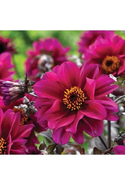 Arzuman Yıldız Çiçeği 30 Tohum