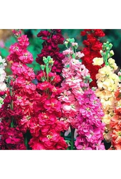 Arzuman Şebboy Çiçeği 100 Tohum