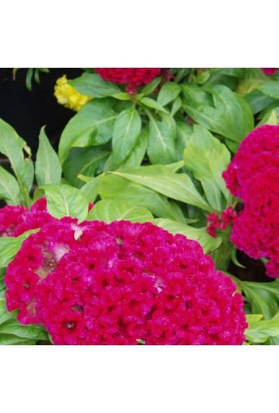 Arzuman Horozibiği Çiçeği 100 Tohum