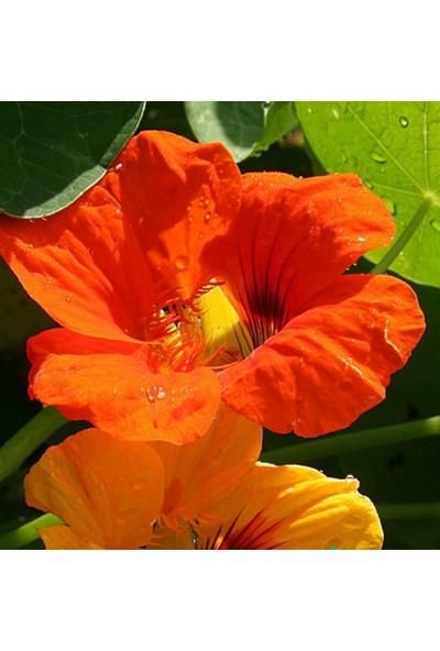 Arzuman Laden Çiçeği 6 Tohum