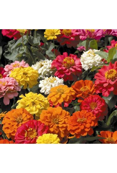 Arzuman Zinna Çiçeği 30 Tohum