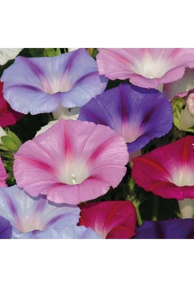 Arzuman Karışık Sarmaşık Çiçeği 50 Tohum