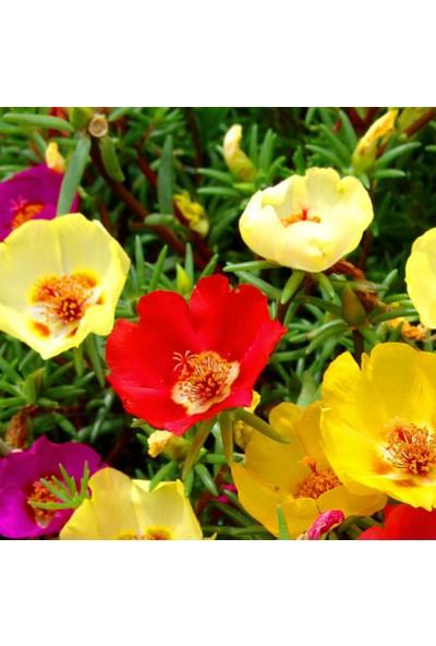 Arzuman İpek Çiçeği 100 Tohum