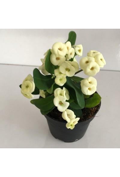 Armenbotanik Euphorbia Milli Beyaz - Dikenler Tacı