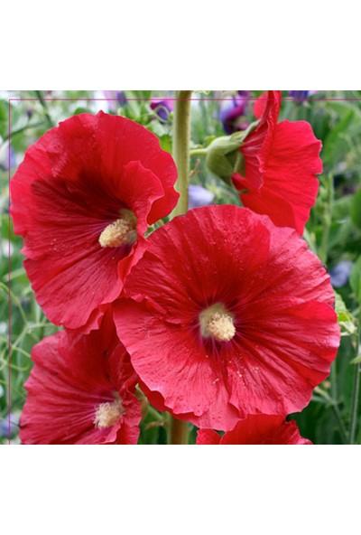 Arzuman Hatim Çiçeği Tohumu 50 Adet