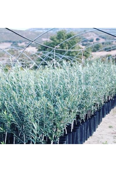 İklim Arbequina Yarı Bodur Yağlık Zeytin Fidanı