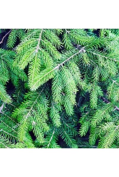 İklim Yeşil Ladin Fidanı