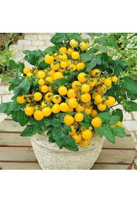 Oskaryum Cherry Sarı Domates Tohumu 25'li + Saksı + Torf