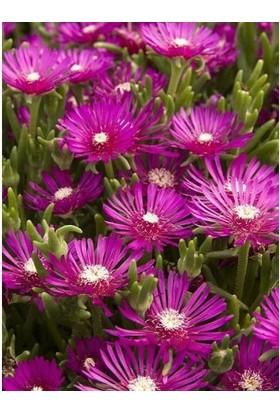 Tunç Botanik Acem Halısı 20 Adet - Çiçekli Yer Örtücü Bitki