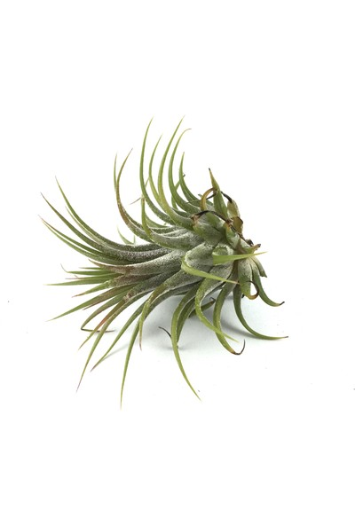 Betonish - Hava Bitkisi - Tillandsia Harrisii