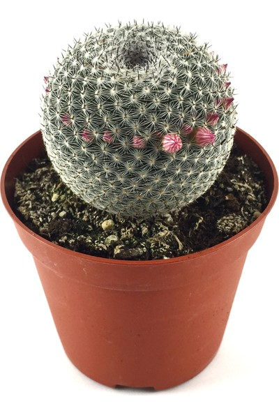 Betonish - Kaktüs - Mammillaria Perbella
