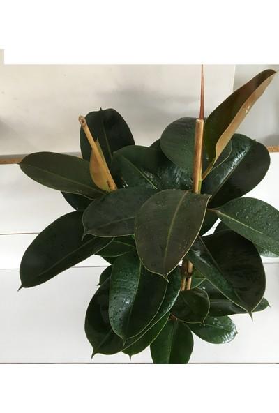 Armenbotanik Ficus Elastika - Kauçuk Bitkisi 80-90 Cm Çift Kök