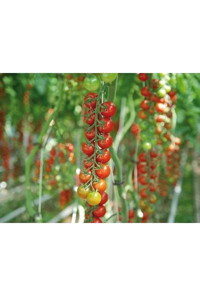 Oskaryum Sırık Cherry Domates Tohumu 25'li + Torf + Saksı