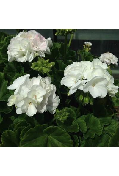 Tunç Botanik Sardunya 10 Adet - Saksıda Beyaz Renk