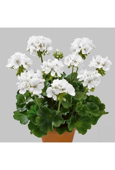 Tunç Botanik Sardunya 5 Adet - Saksıda Beyaz Renk