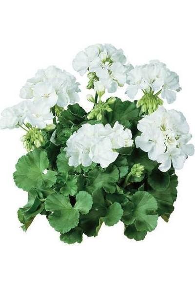 Tunç Botanik Sardunya 3 Adet - Saksıda Beyaz Renk