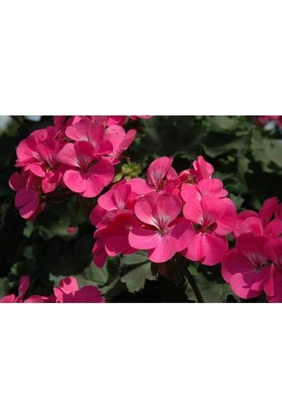 Tunç Botanik Sardunya 10 Adet - Saksıda Pembe Renk