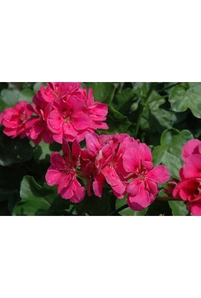 Tunç Botanik Sardunya 3 Adet - Saksıda Pembe Renk
