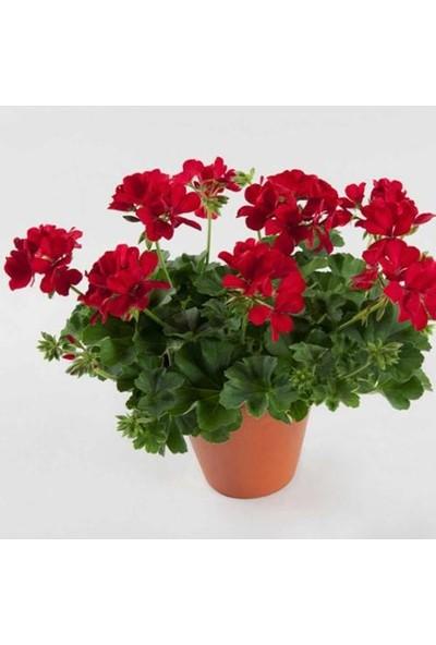 Tunç Botanik Sardunya 3 Adet - Saksıda Kırmızı Renk