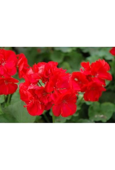 Tunç Botanik Sardunya 5 Adet - Saksıda Kırmızı Renk