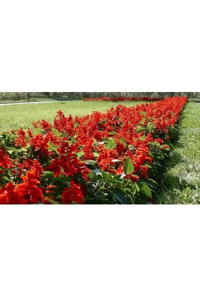 Tunç Botanik Ateş Çiçeği 80 Adet - Saksıda Mevsimlik Çiçek